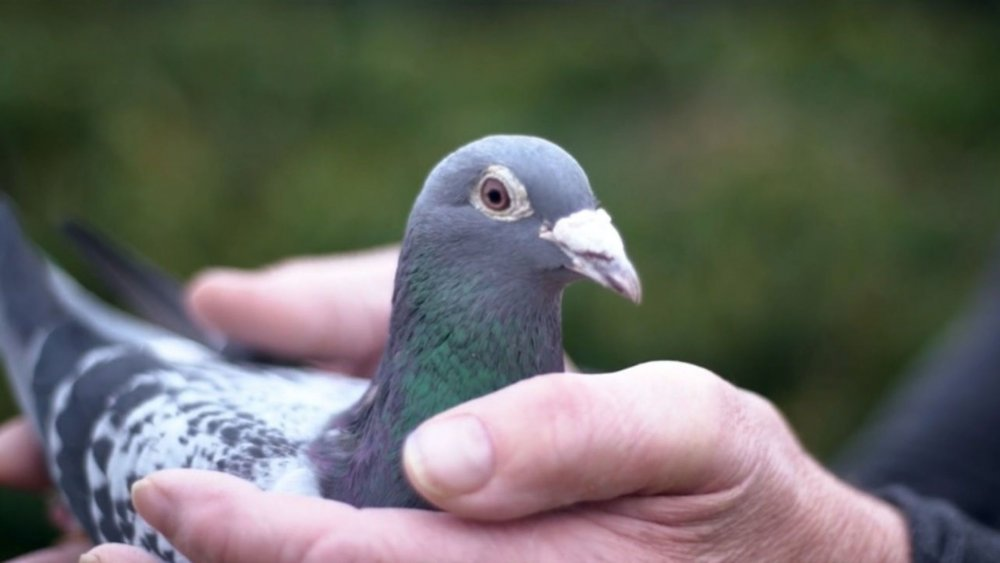 Sportul columbofil – sustinut de produsele naturale pentru porumbei
