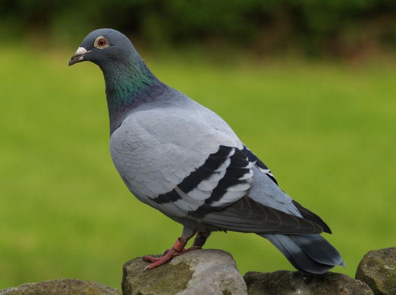 Medicamentele destinate tratarii porumbeilor se regasesc la Radu Duo